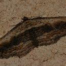 Image of Small Waved Umber