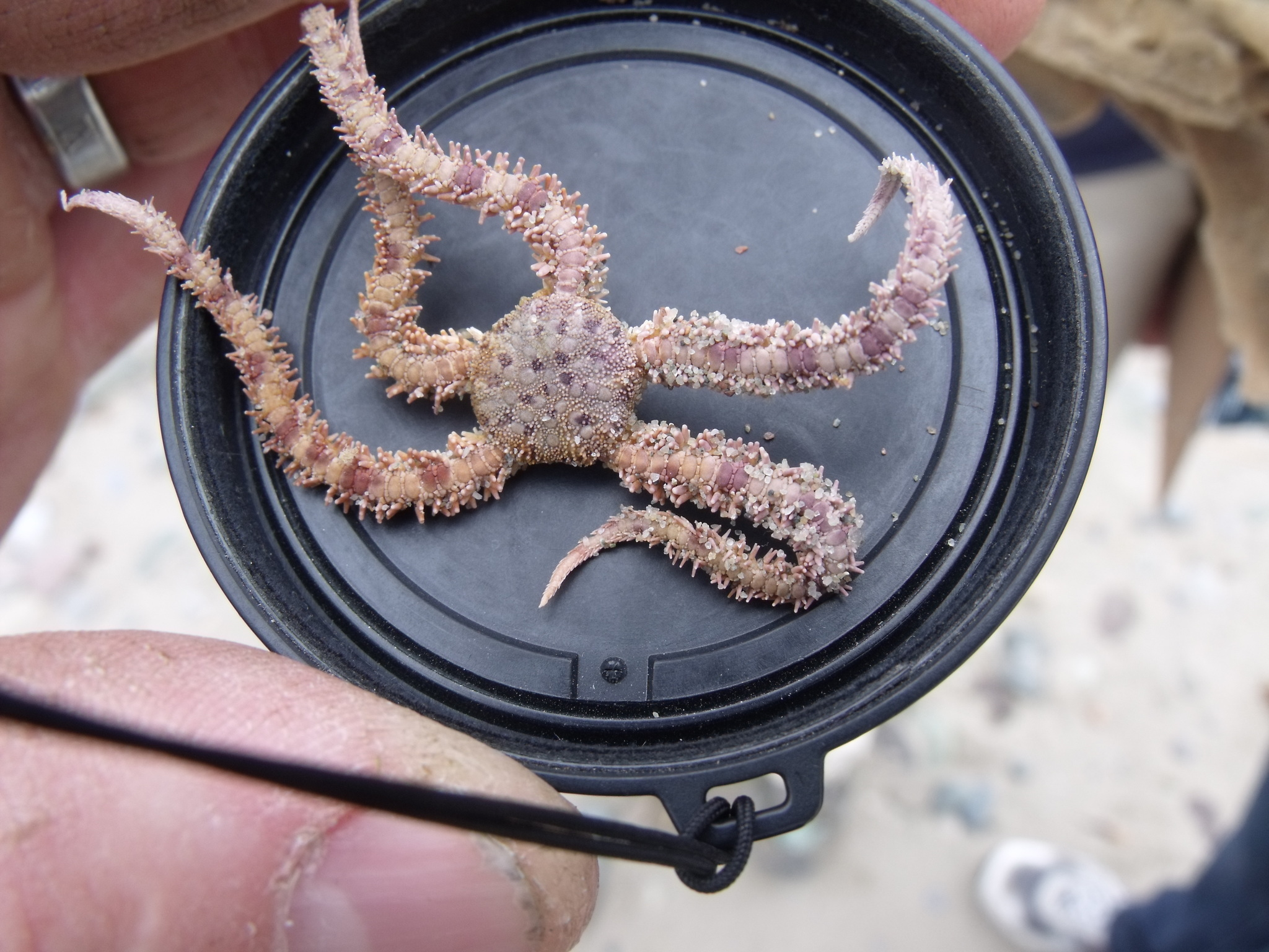 Image of Daisy brittle star