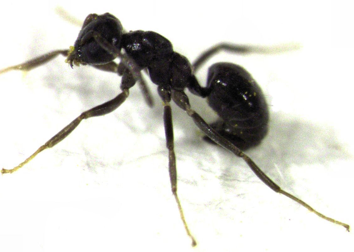 Image of <i>Technomyrmex jocosus</i> Forel 1910