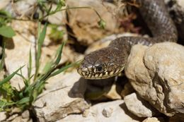 Image of Balkan Whip Snake