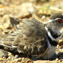 Image of Three-banded Plover