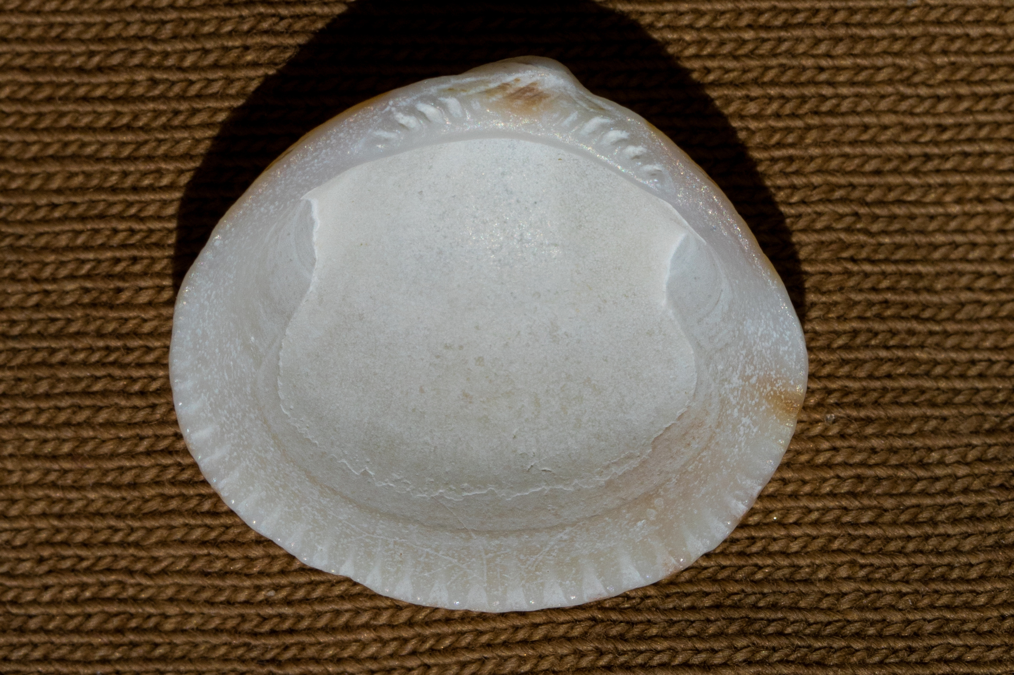 Image of <i>Glycymeris septentrionalis</i>