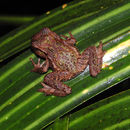 Image of New Zealand primitive frogs