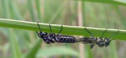 Image of <i>Bibio albipennis</i> Say 1823