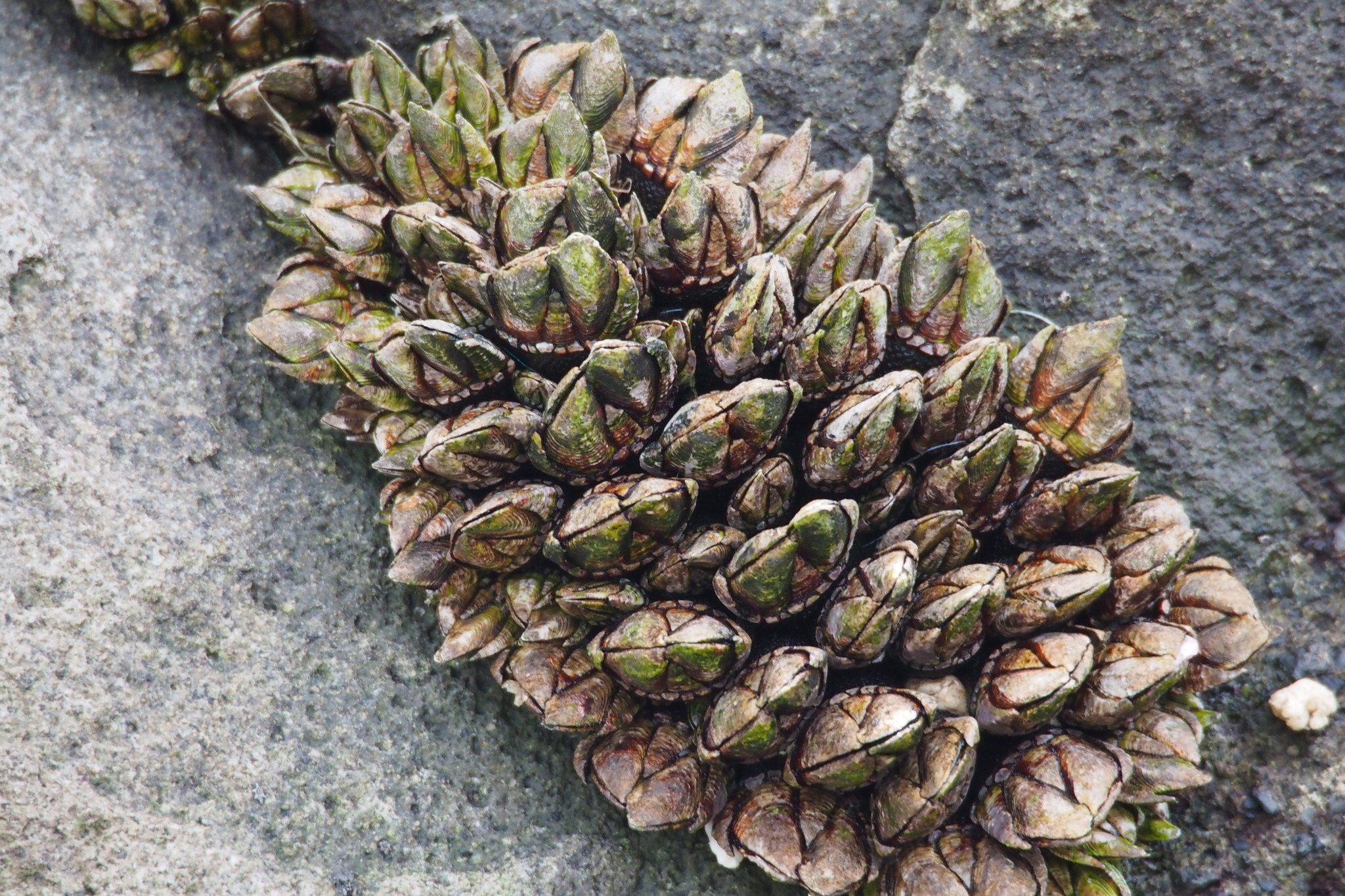 Image of Japanese goose barnacle