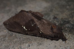 Image of <i>Endoclita sinensis</i> Moore 1877