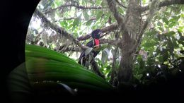 Image of Bare-necked Umbrellabird