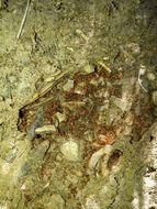Image of <i>Pheidole pallidula</i> (Nylander 1849)