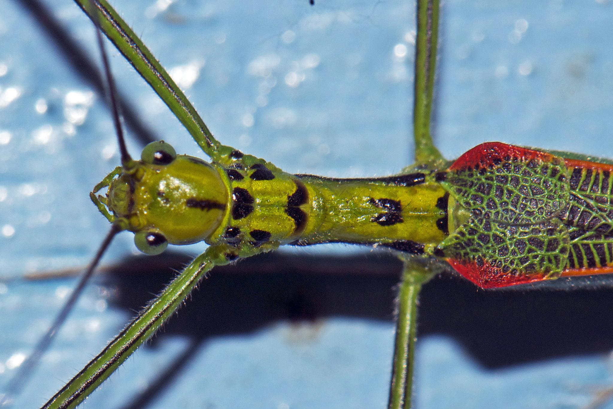 Image of <i>Tagesoidea tages</i> (Westwood 1859)
