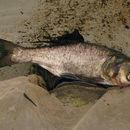 Image of Bighead Carp