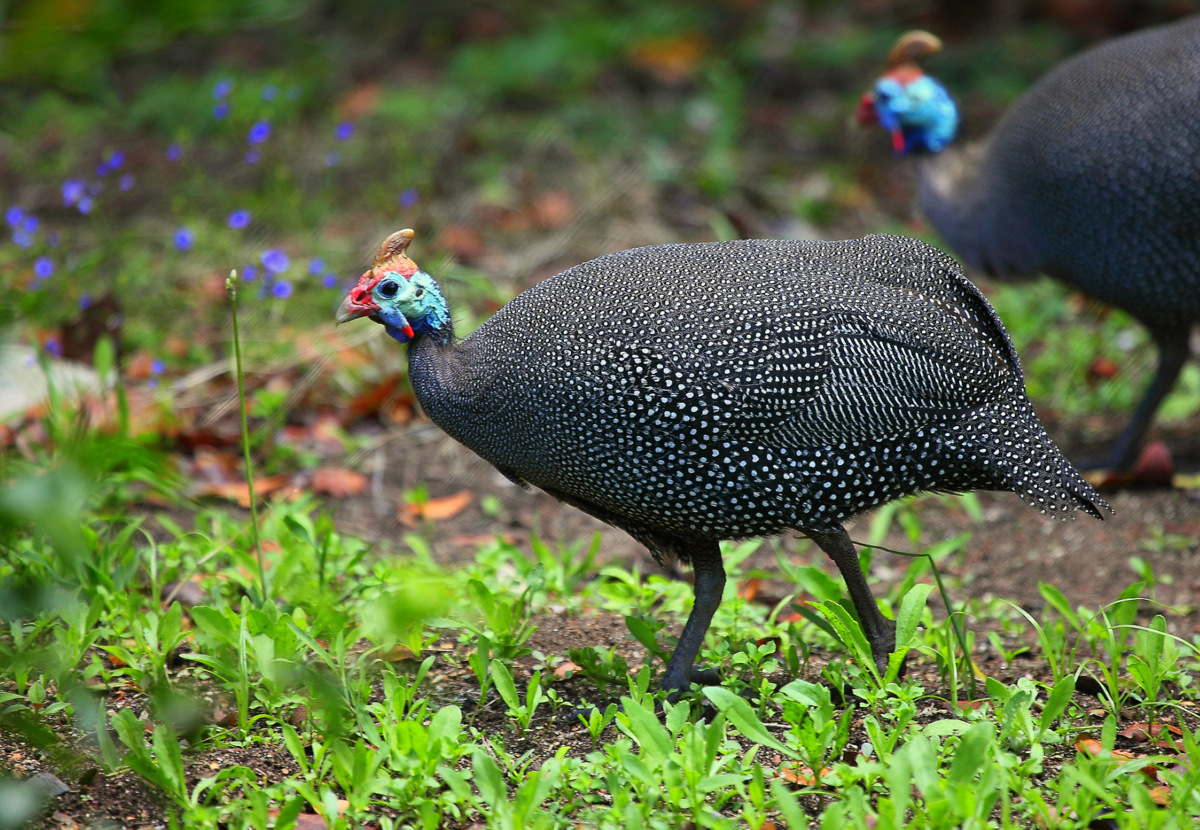 Image of Helmeted Guineafowl