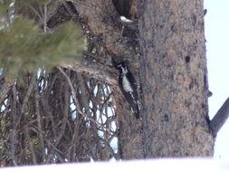 Image of American Three-toed Woodpecker