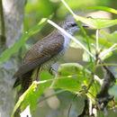 Image of Banded Bay Cuckoo