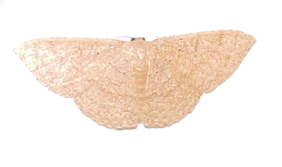 Image of Common Tan Wave