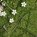 Image of <i>Arenaria balearica</i>