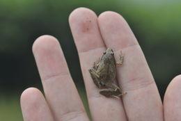 Image of Javan Chorus Frog