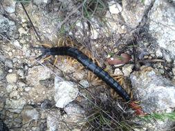 Image of giant desert centipede