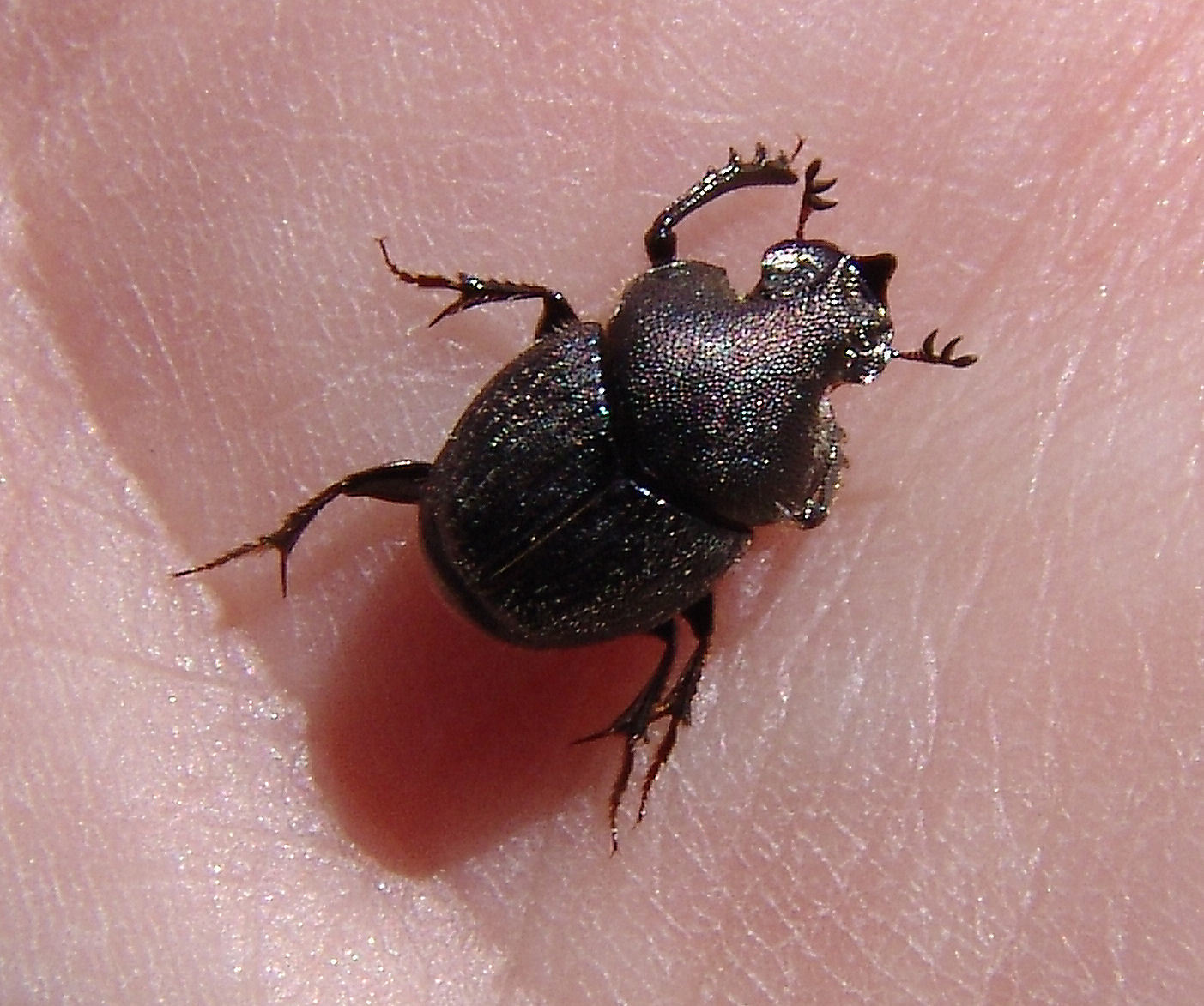 Image of Scooped Scarab