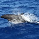 Image of False Killer Whale