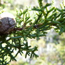 Image of pygmy cypress