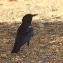Image of Cape Crow