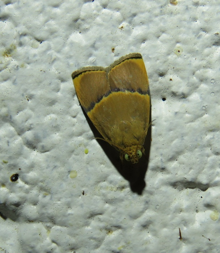 Image of <i>Imma obliquefasciata</i> Walsingham 1900