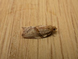 Image of Light brown apple moth