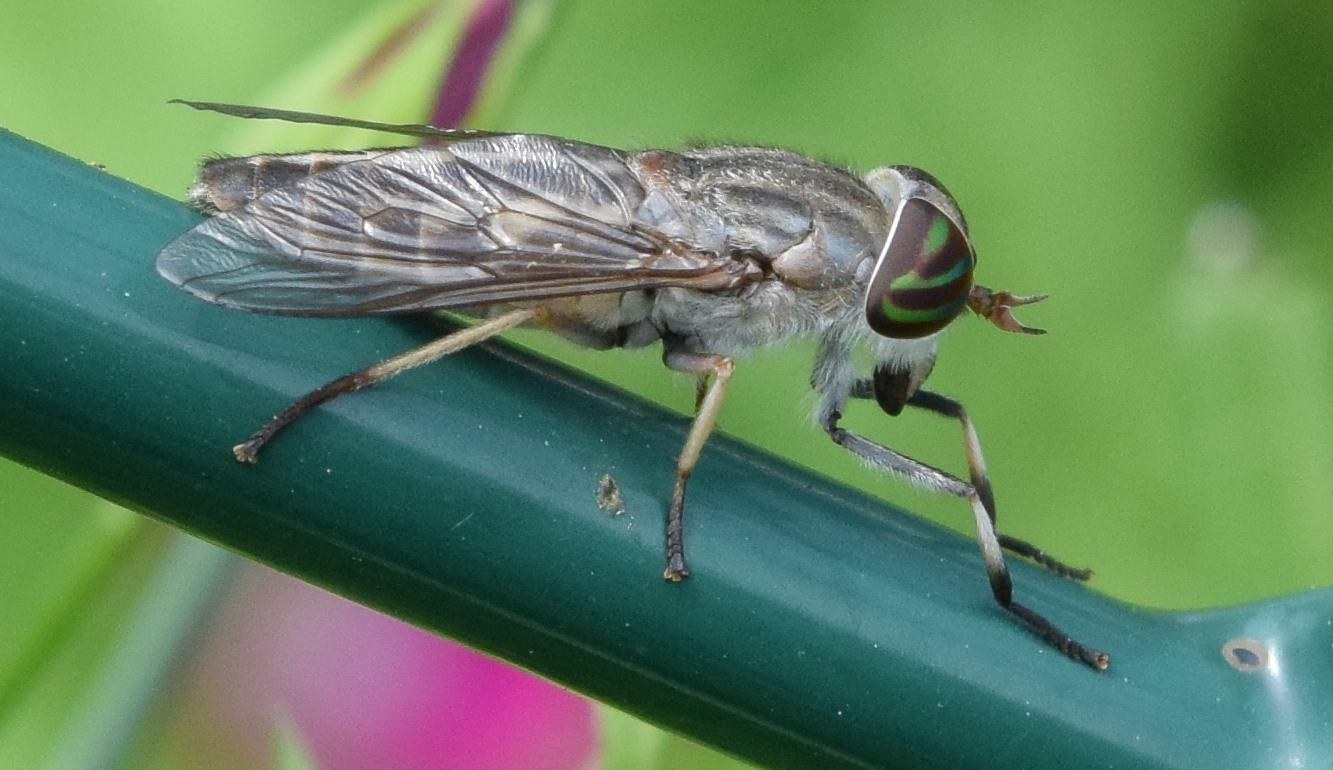 Image of Striped Horse Fly