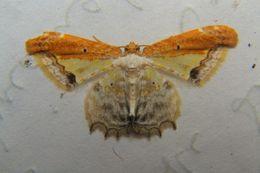 Image of <i>Acolutha pulchella</i> Hampson 1895