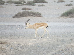 Image of Goitered Gazelle