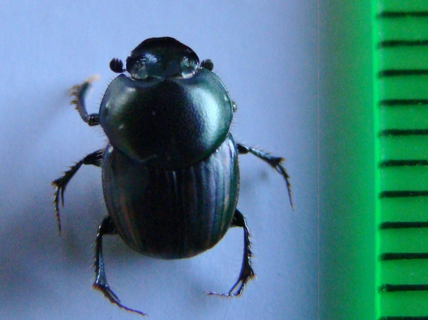 Image of <i>Onthophagus posticus</i> Erichson 1842