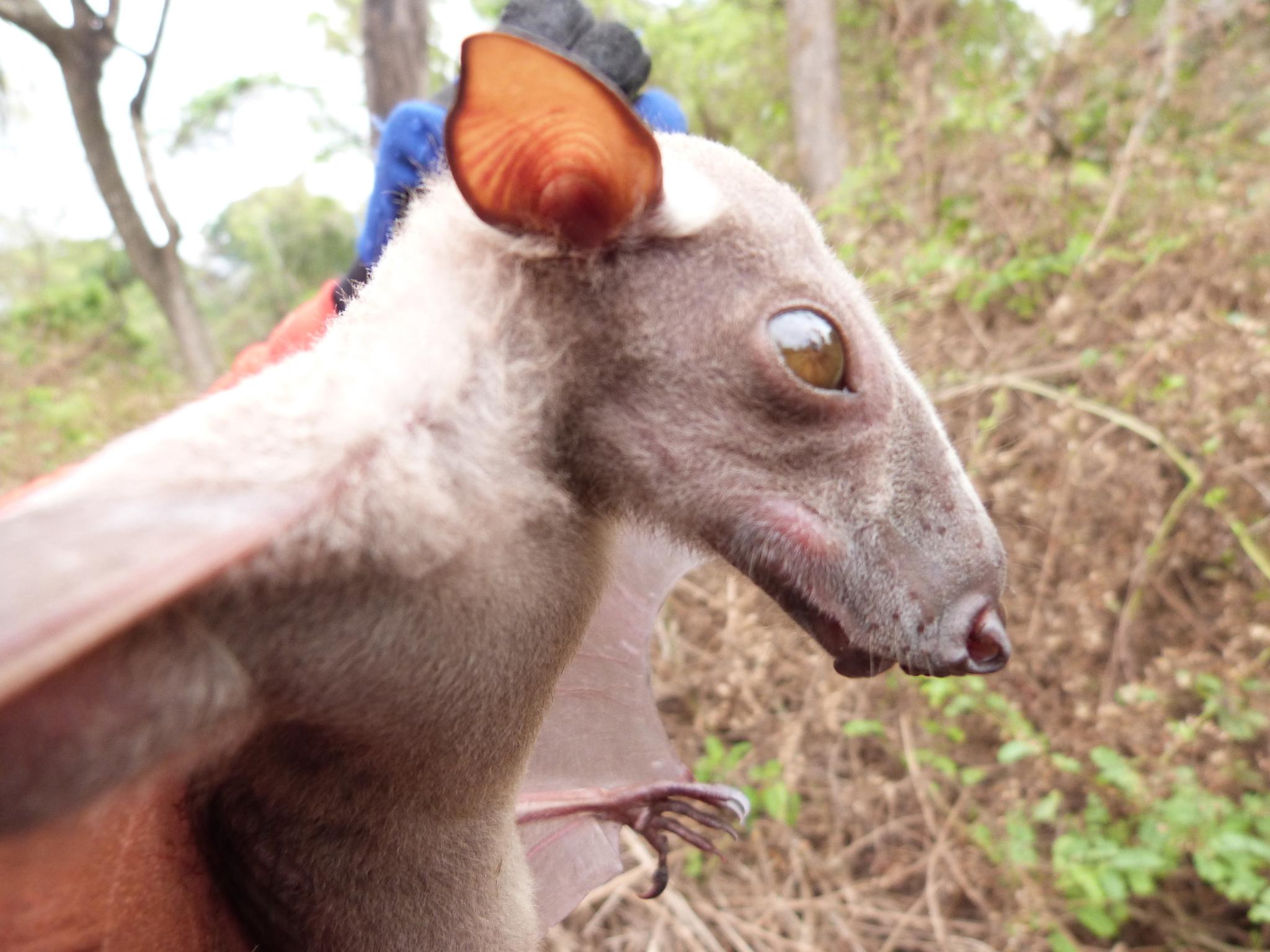 Image of Hammer-headed Fruit Bat