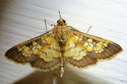 Image of <i>Diacme elealis</i>