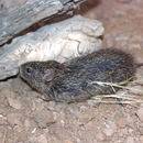 Image of tawny-bellied cotton rat