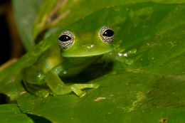 Image of Emerald Glass Frog