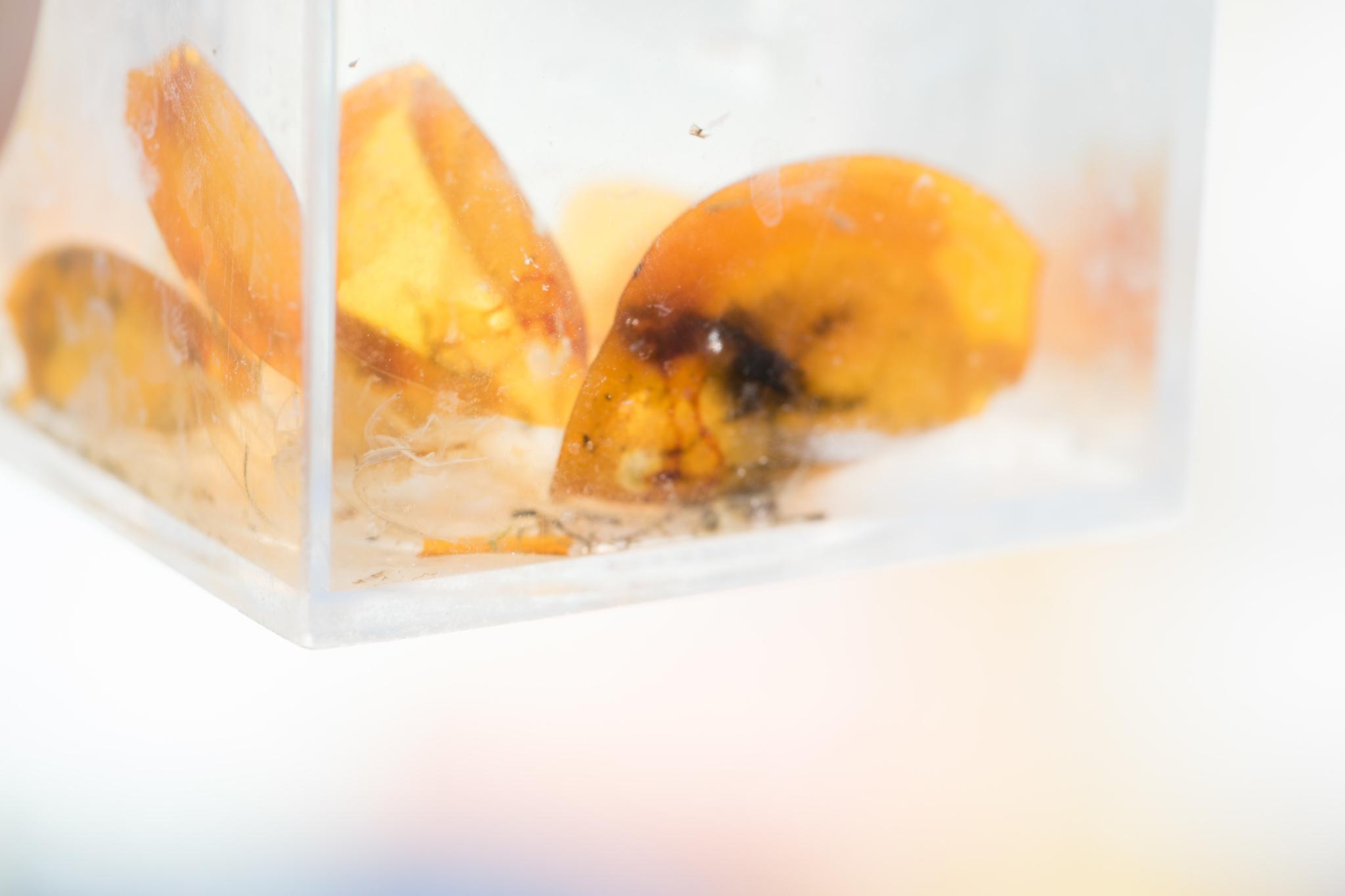Image of Vernal pool tadpole shrimp