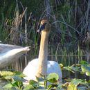 Image of Trumpeter Swan
