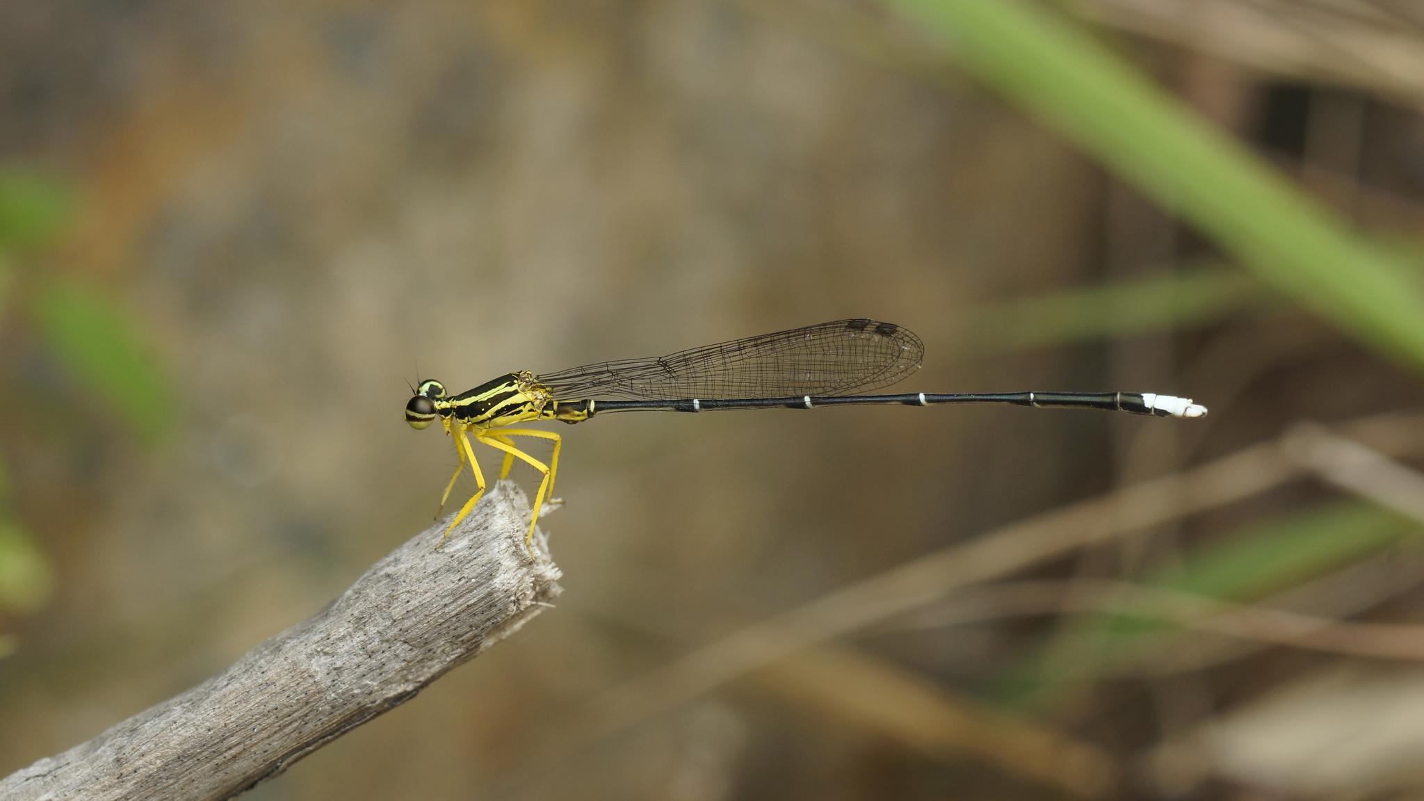 Image of <i>Copera marginipes</i> (Rambur 1842)