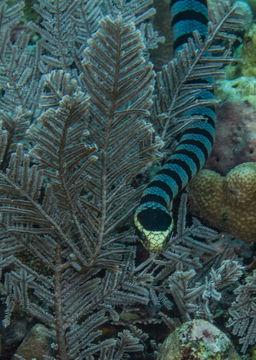 Image of Banded sea krait