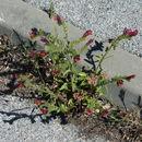 Image of <i>Echium creticum</i>