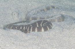 Image of Little Filesnake