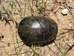 Image of Chicken turtle