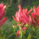Image of <i>Castilleja rhexiifolia</i>