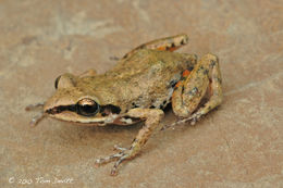 Image of White-lipped Peeping Frog
