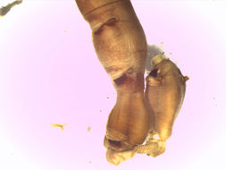 Image of <i>Praxillella affinis pacifica</i> Berkeley 1929