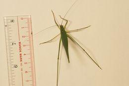 Image of <i><i>Elimaea</i></i> (Elimaea) <i>punctifera</i> (Walker & F. 1869)