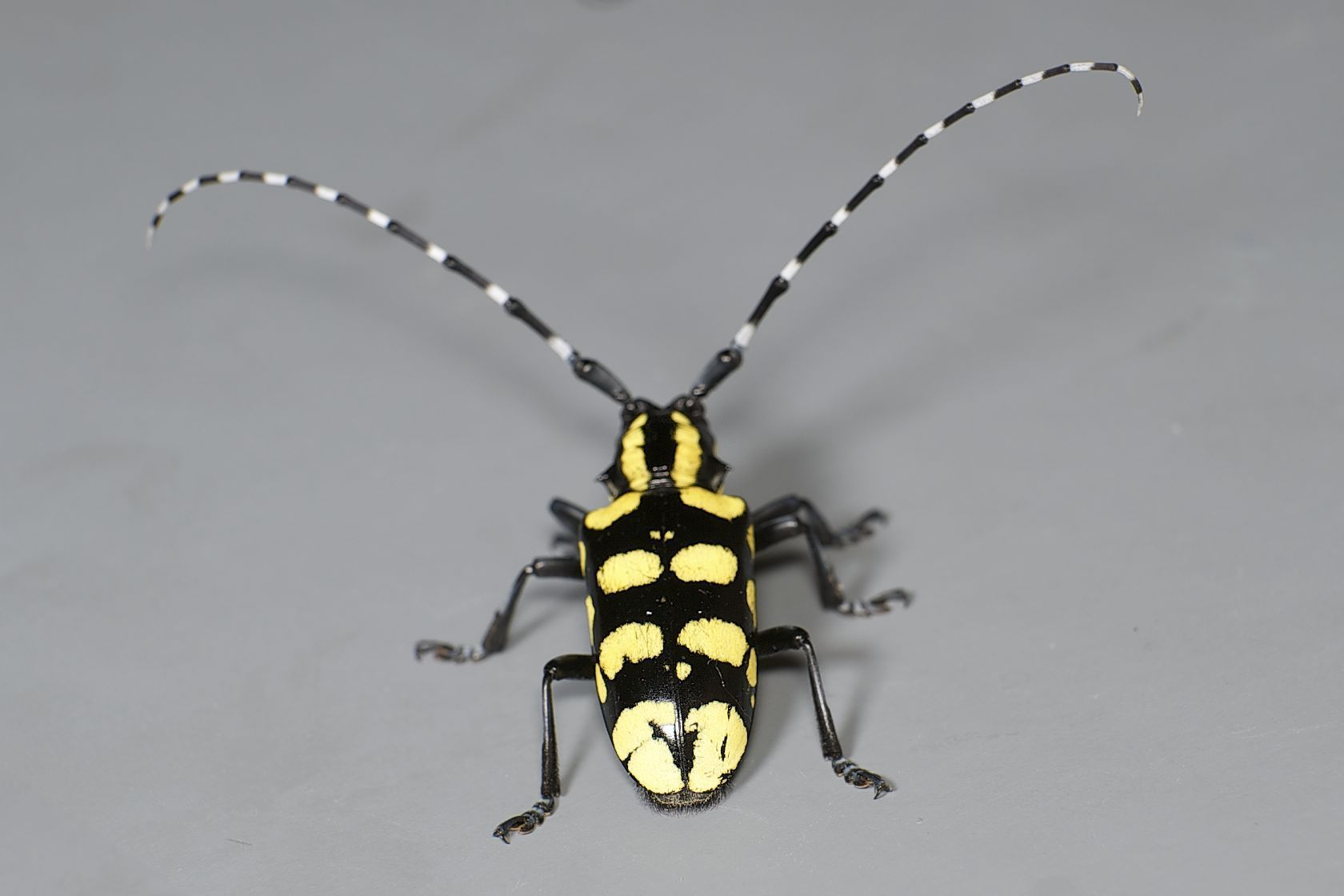 Image of <i>Anoplophora horsfieldii</i> (Hope 1843)