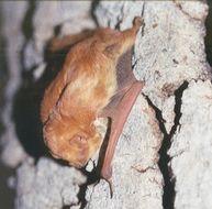 Image of <i><i>Lasiurus</i></i> (Lasiurus) <i>blossevillii teliotis</i> (H. Allen 1891)