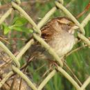 Image of White-throated Sparrow