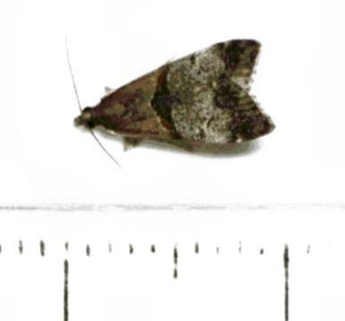 Image of <i>Antiscopa epicomia</i> Meyrick 1885